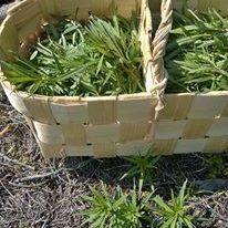 Poimijakoulutus villivihanneksille ja sienille