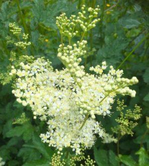 Keruupalvelu - Forest Foody. Mesiangervon kukinto