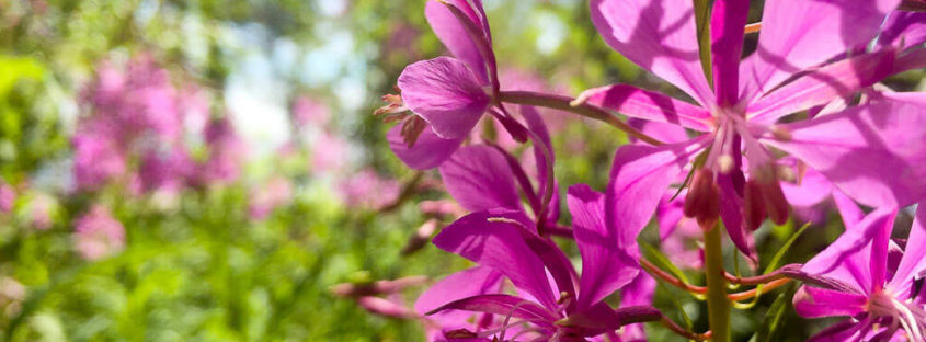 Forest Foodyn vinkkejä luonnonkukkien käyttämiseen ja säilömiseen