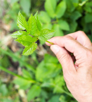 vuohenputki / 4H-nuoret kerääjät keruupalvelu