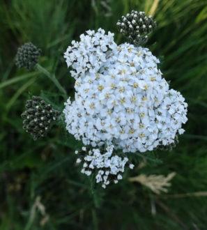 Keruupalvelu: siankärsämön kukka 500 g | Forest Foody
