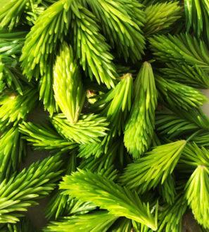 Keruupalvelu: Kuusenkerkkä | Forest Foody