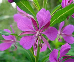 Keruupalvelu: Maitohorman kukka 500 g | Forest Foody