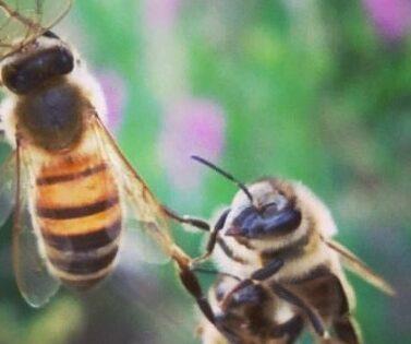 nordicbee-Mehiläiset